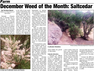 December Weed of the Month: Saltcedar